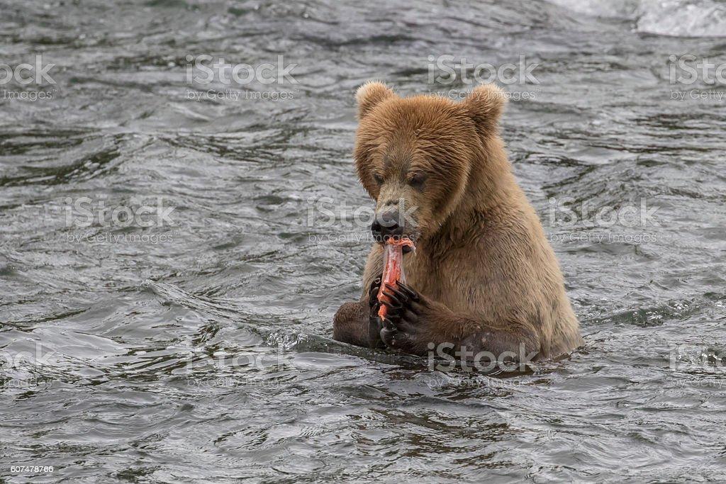 Brown Bear Eating Fish (Sockeye Salmon) in River stock photo
