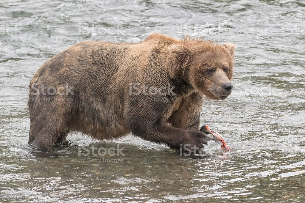 Brown Bear Eating Fish (Sockeye Salmon) in River stock photo