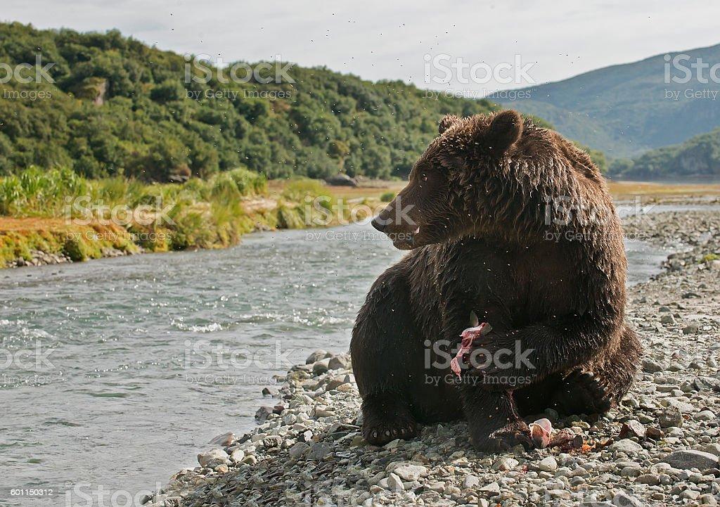 Brown Bear eating salmon stock photo