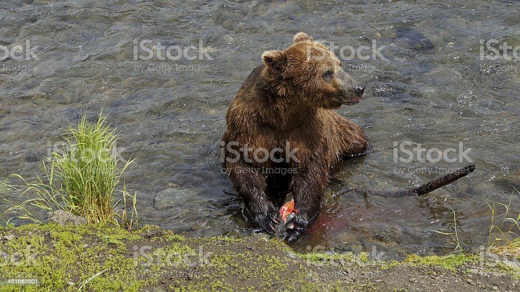 Brown Bear Enjoying a Salmon royalty-free stock photo