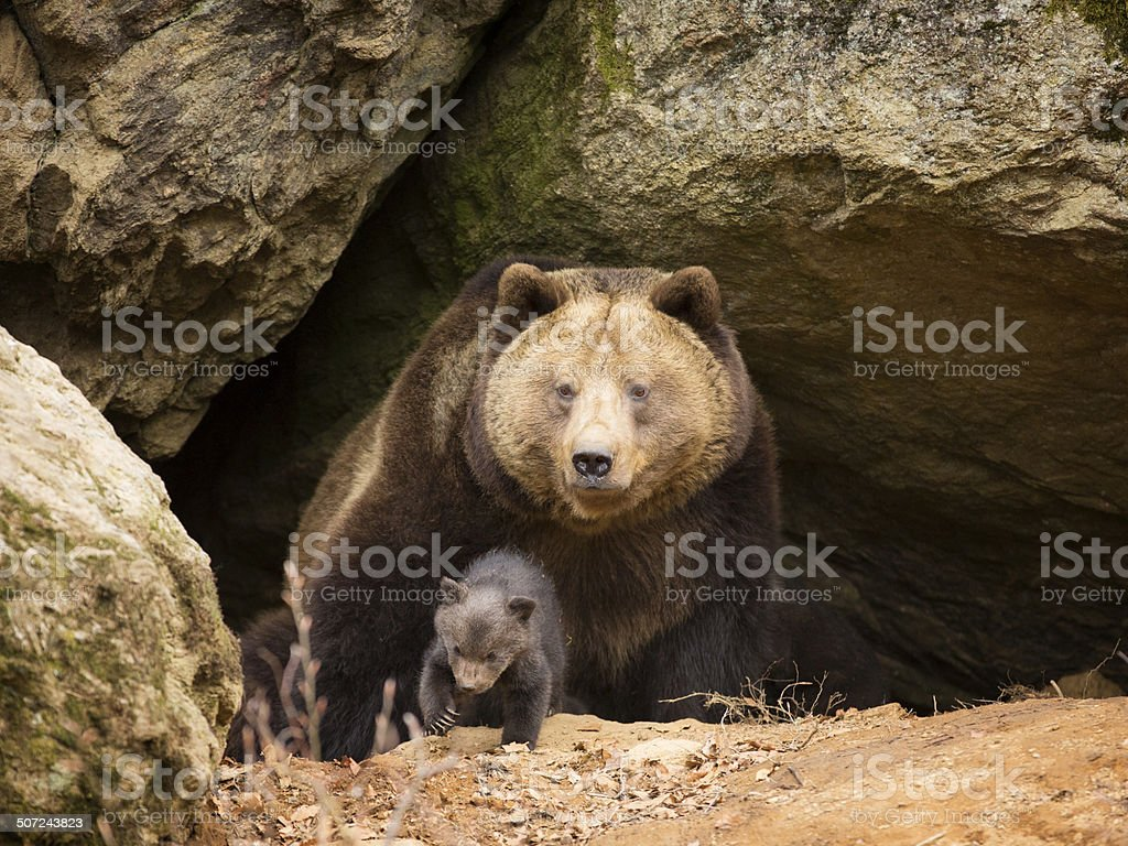 Brown bear family stock photo