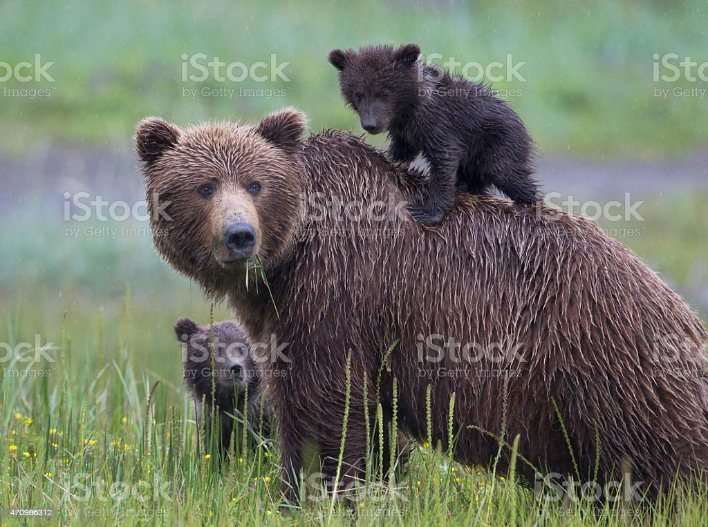 Brown Bear Family with Cub on Mothers Back stock photo
