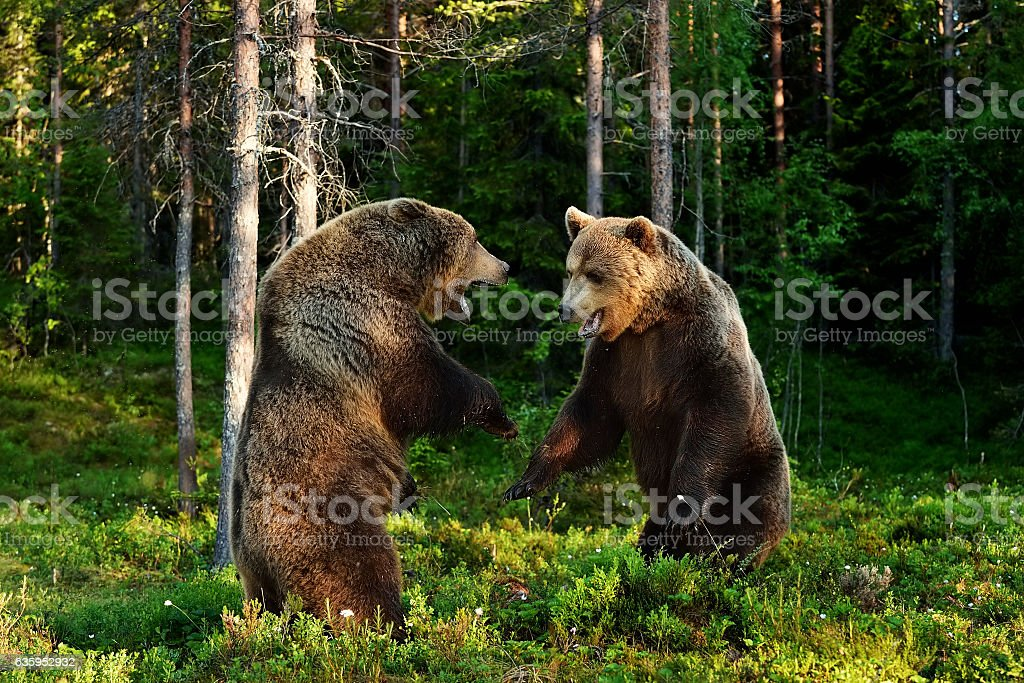Brown bear fight. Brown bear aggression. stock photo