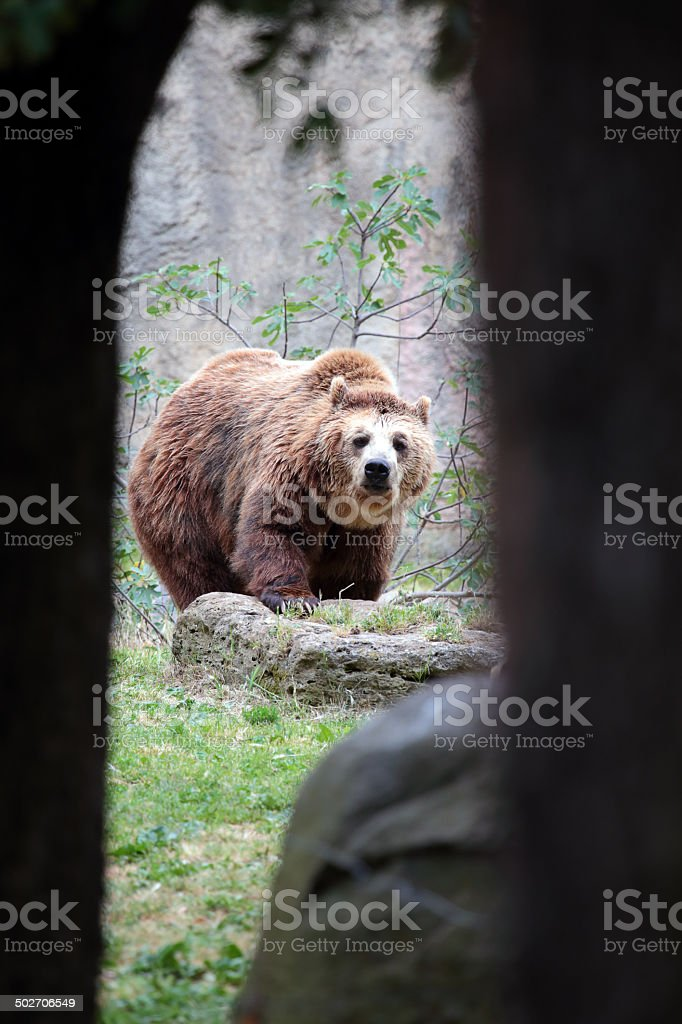 Brown bear from a cave stock photo