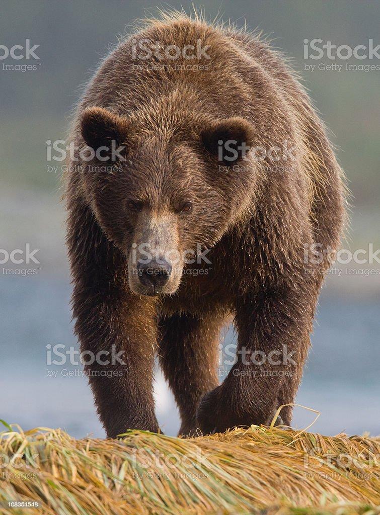 Brown Bear Head On stock photo
