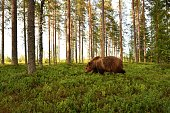 brown bear in a forest landscape at summer