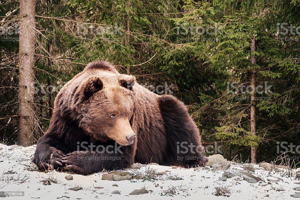Brown bear in a forest stock photo