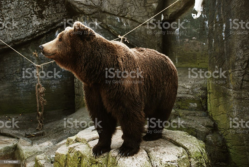 Brown bear in cave stock photo