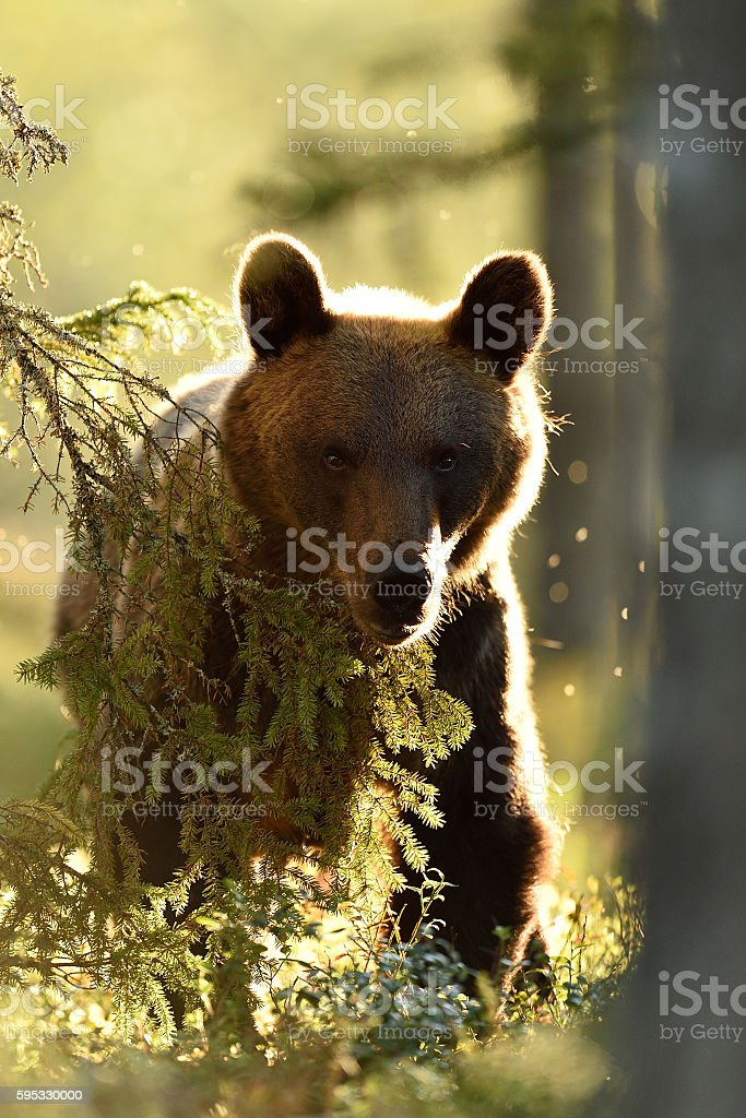 brown bear in contra light stock photo