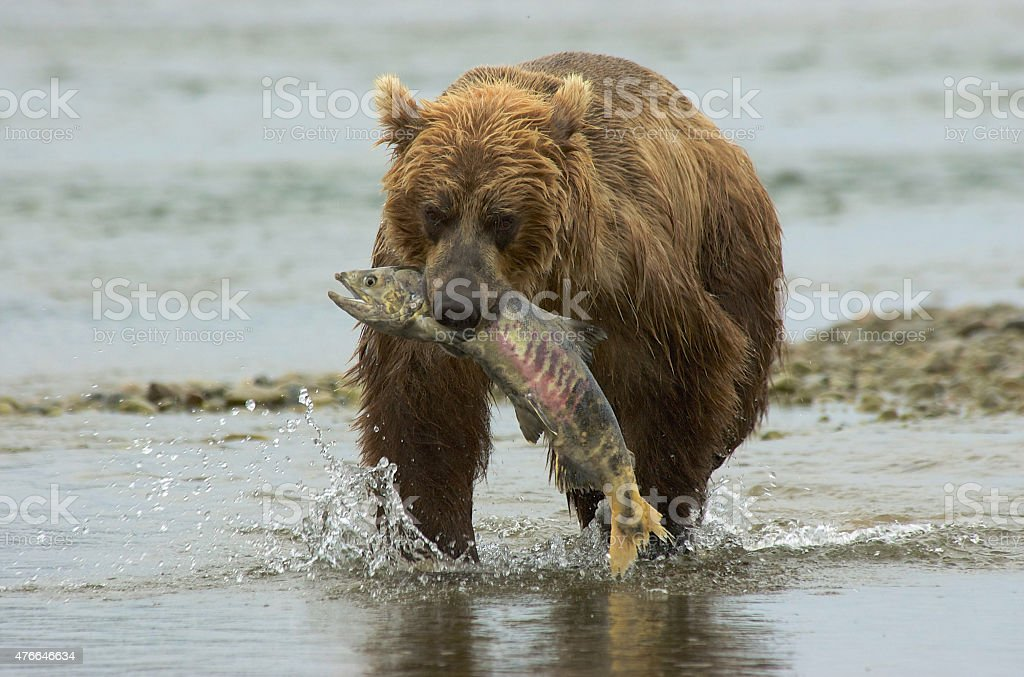 Brown Bear in River with Salmon in Mouth stock photo