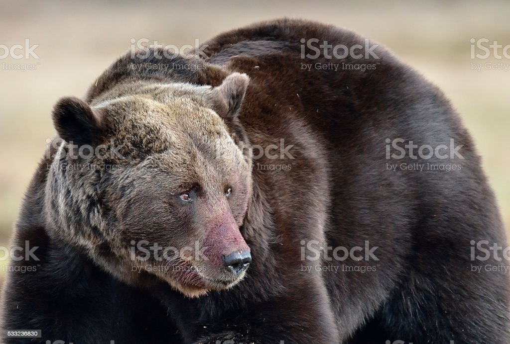 Brown Bear in spring forest. stock photo
