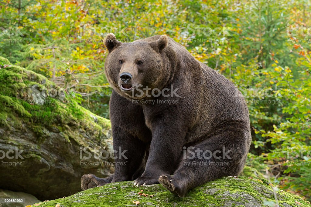 Brown Bear in the Bavarian forest. stock photo