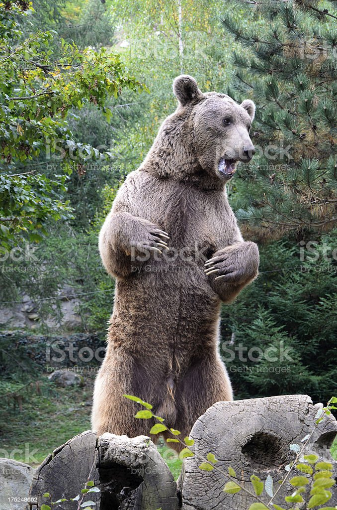 Brown bear in the forest stock photo