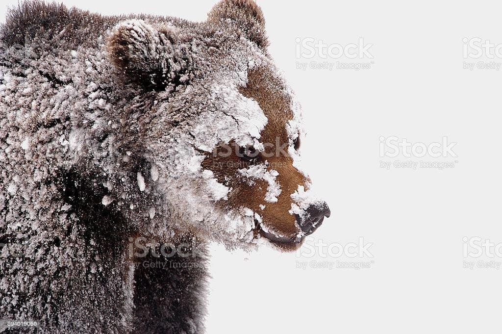 Brown Bear in winter stock photo