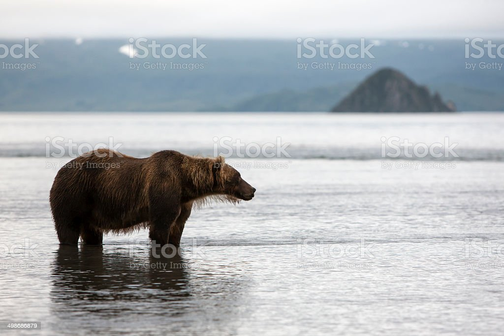 Brown bear is in the water stock photo