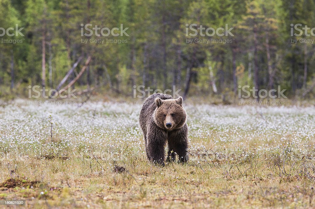 Brown bear is walking in the swamp stock photo