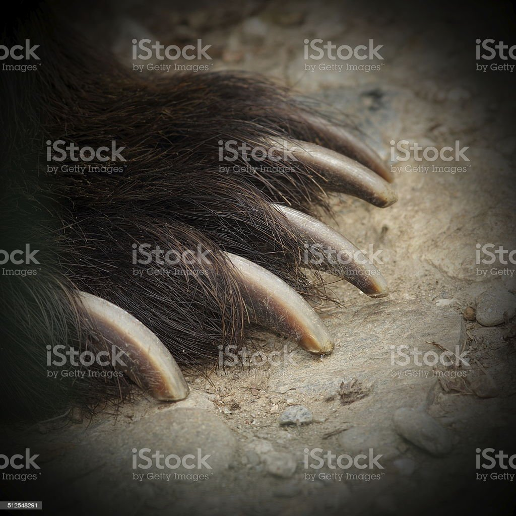 brown bear jaws stock photo