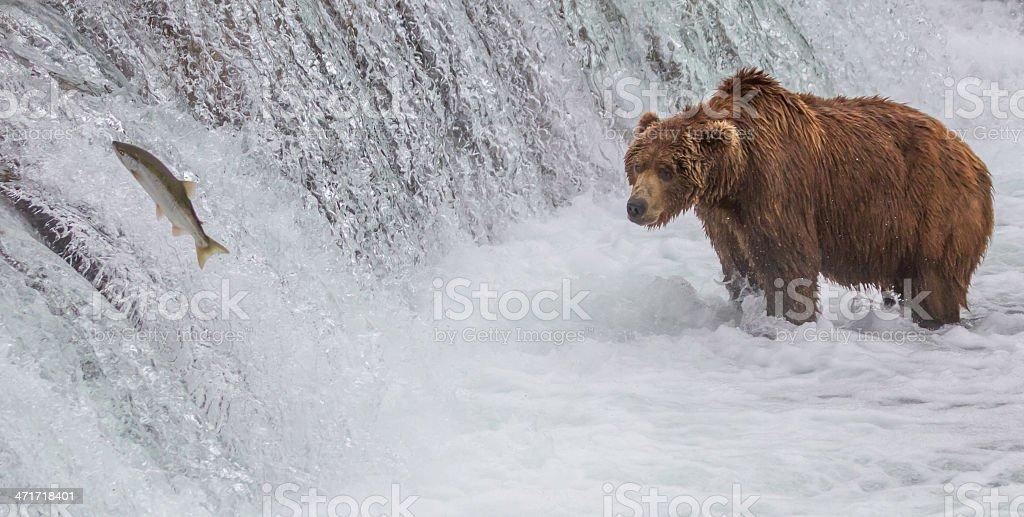 Brown Bear Looking At Salmon Jumping up the Falls stock photo