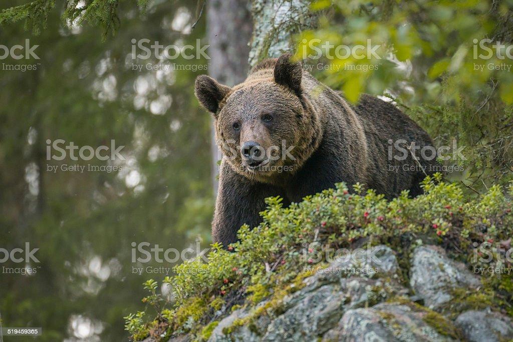 Brown bear looking down stock photo