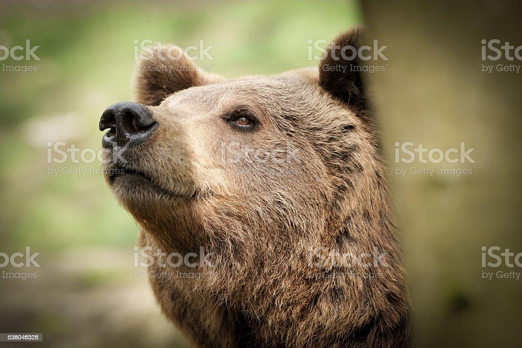 Brown bear looks curious stock photo