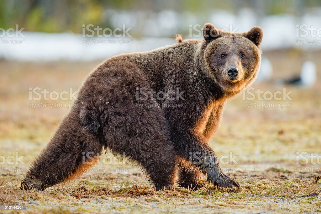 Brown Bear on a bog stock photo