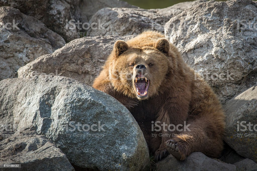 Brown Bear on Rocks stock photo