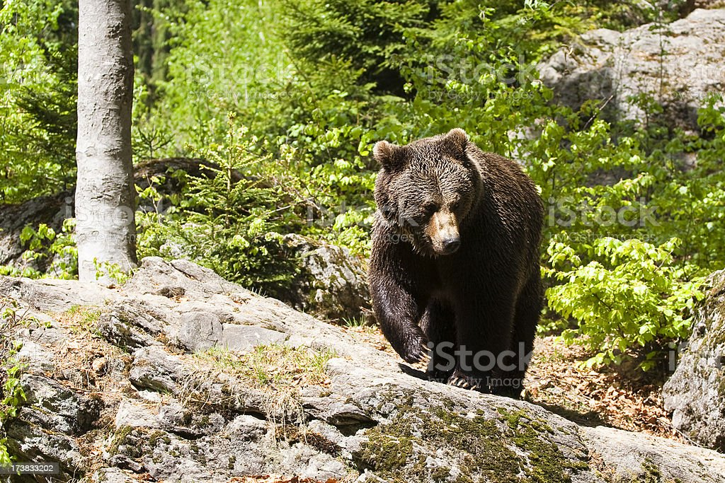 Brown bear on the rock stock photo