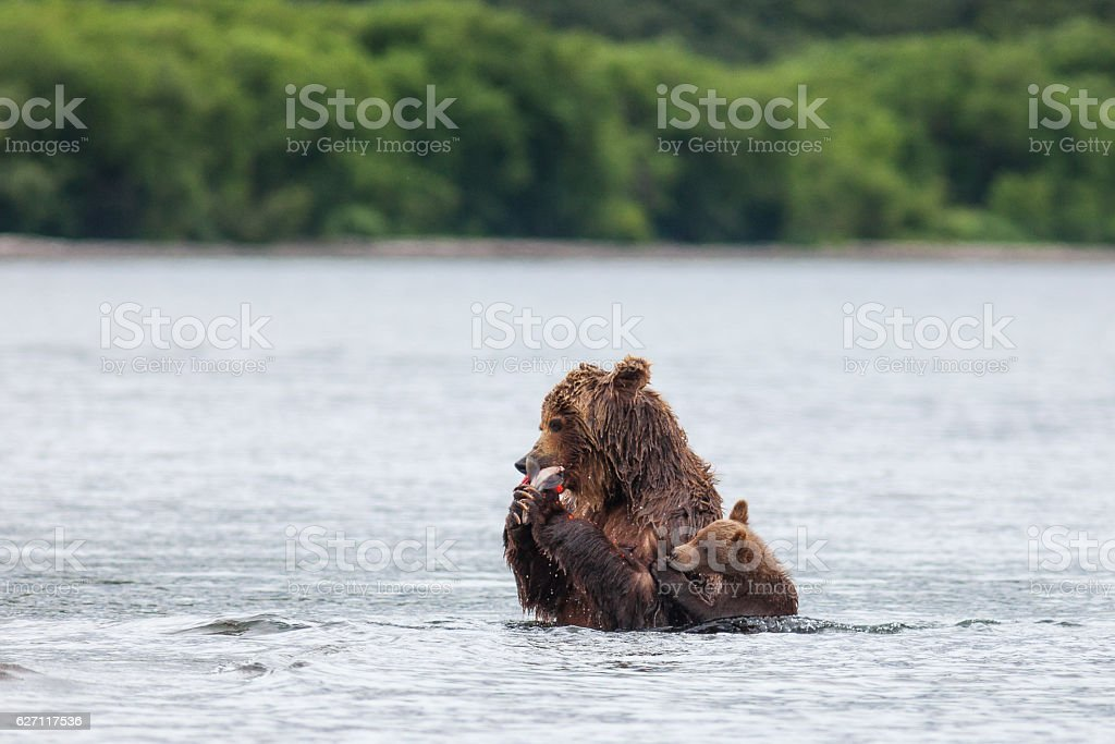 Brown bear on the shore of Kurile Lake stock photo