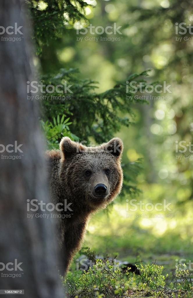 Brown bear peeking from behind a tree in a sunlit wild area stock photo