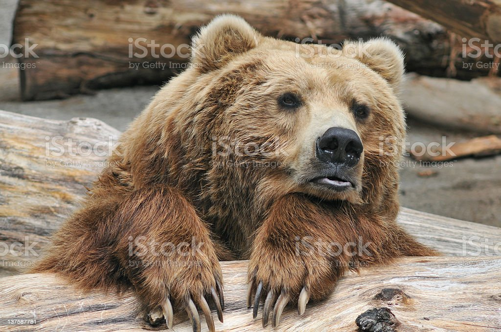 Brown Bear royalty-free stock photo