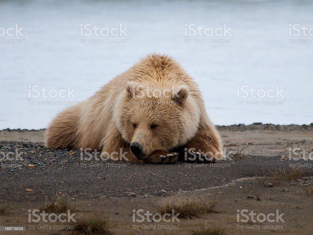 Brown bear resting on sand stock photo