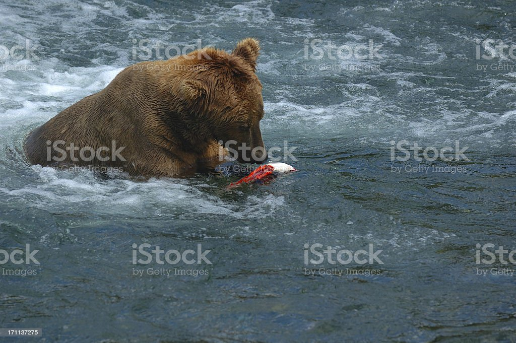 Brown bear rips apart  salmon while sitting in the river royalty-free stock photo