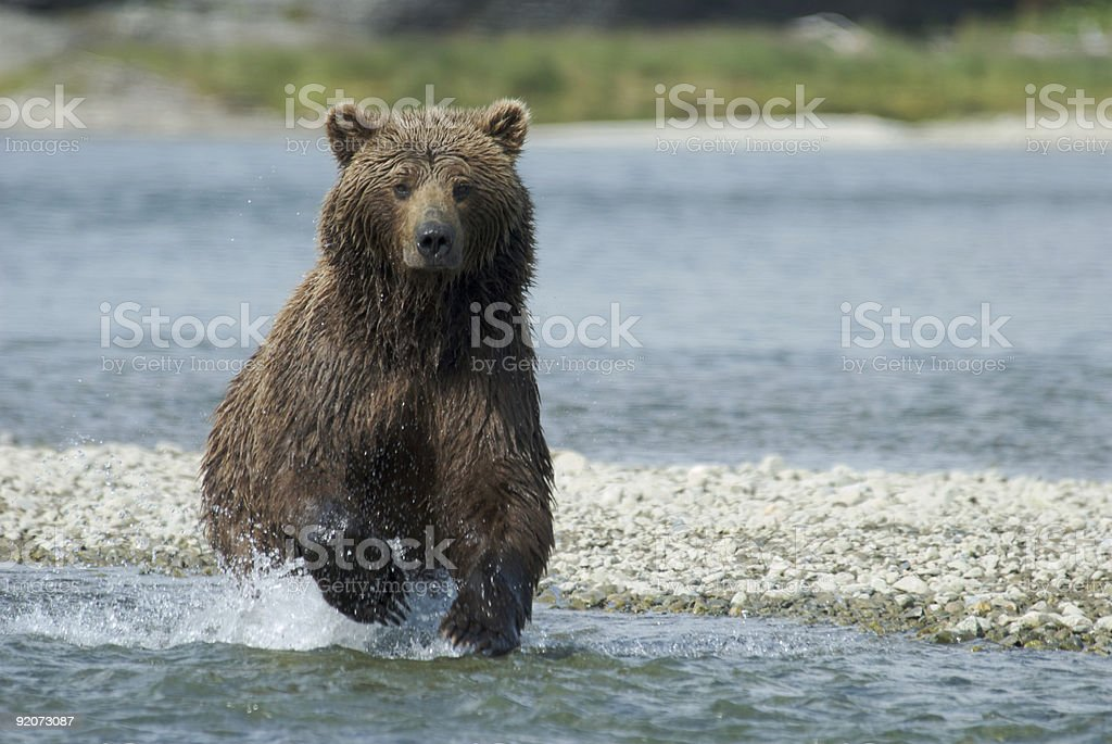 Brown Bear Running in River stock photo