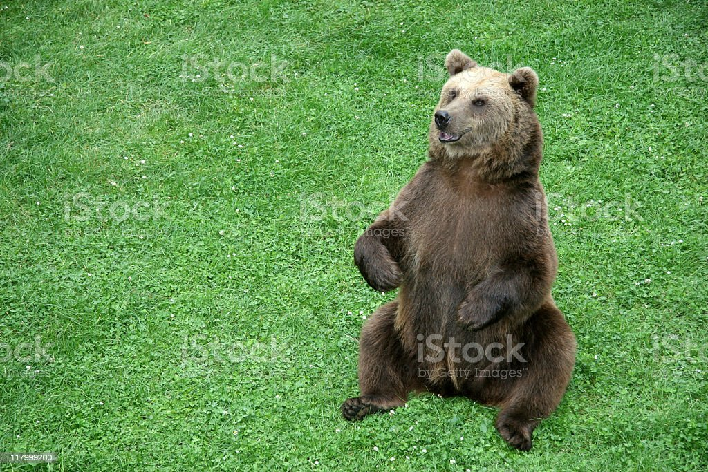 brown bear sitting in the meadow stock photo