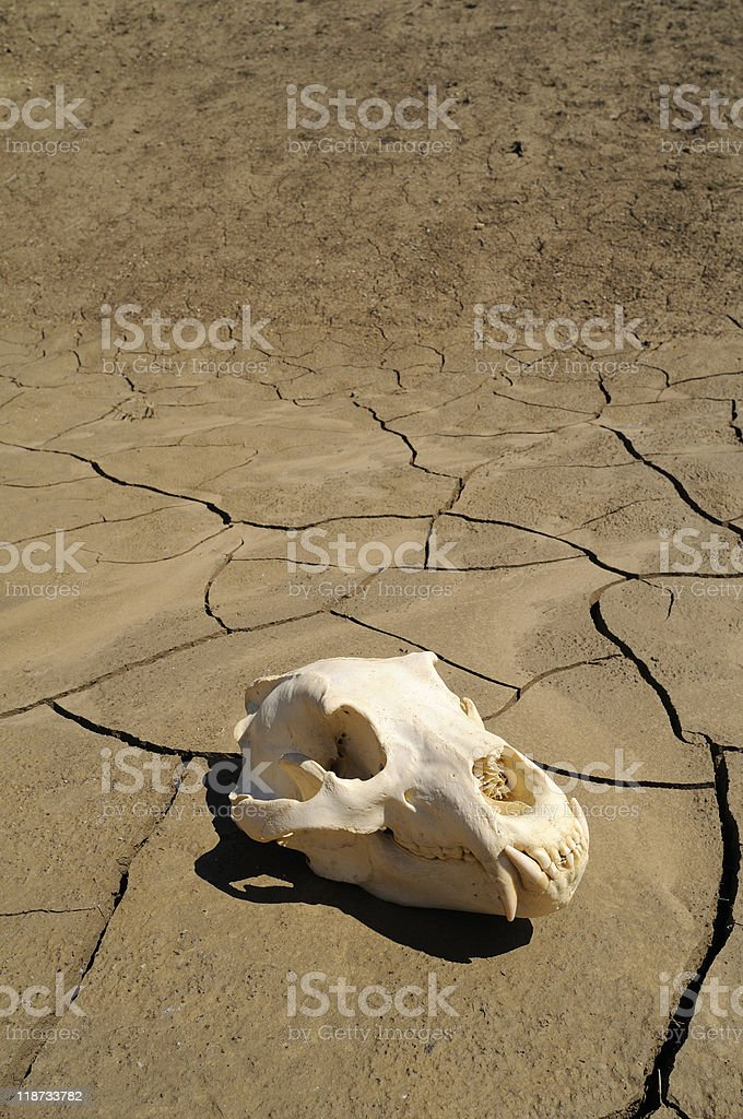Brown bear skull royalty-free stock photo