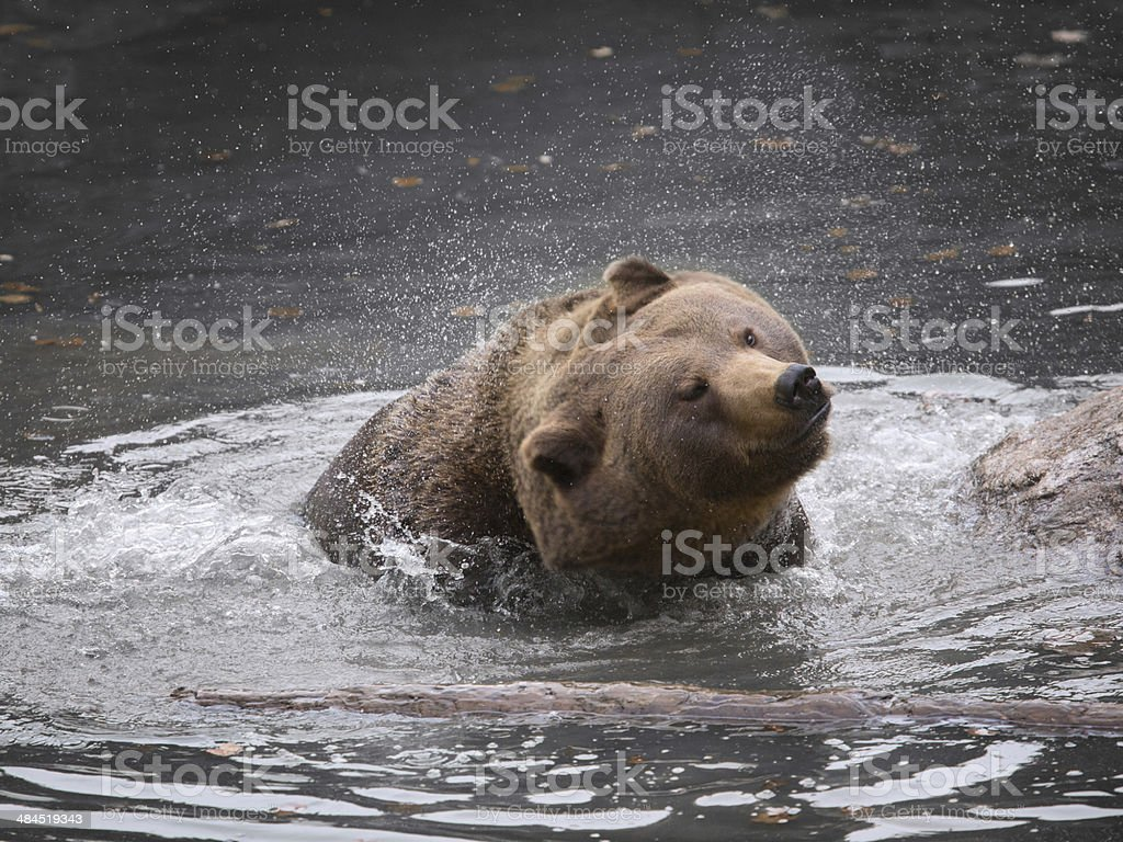 Brown bear spraying water from its head stock photo