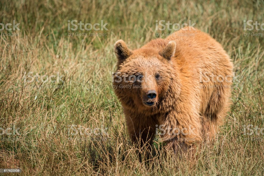 Brown bear standing in meadow in sunshine stock photo