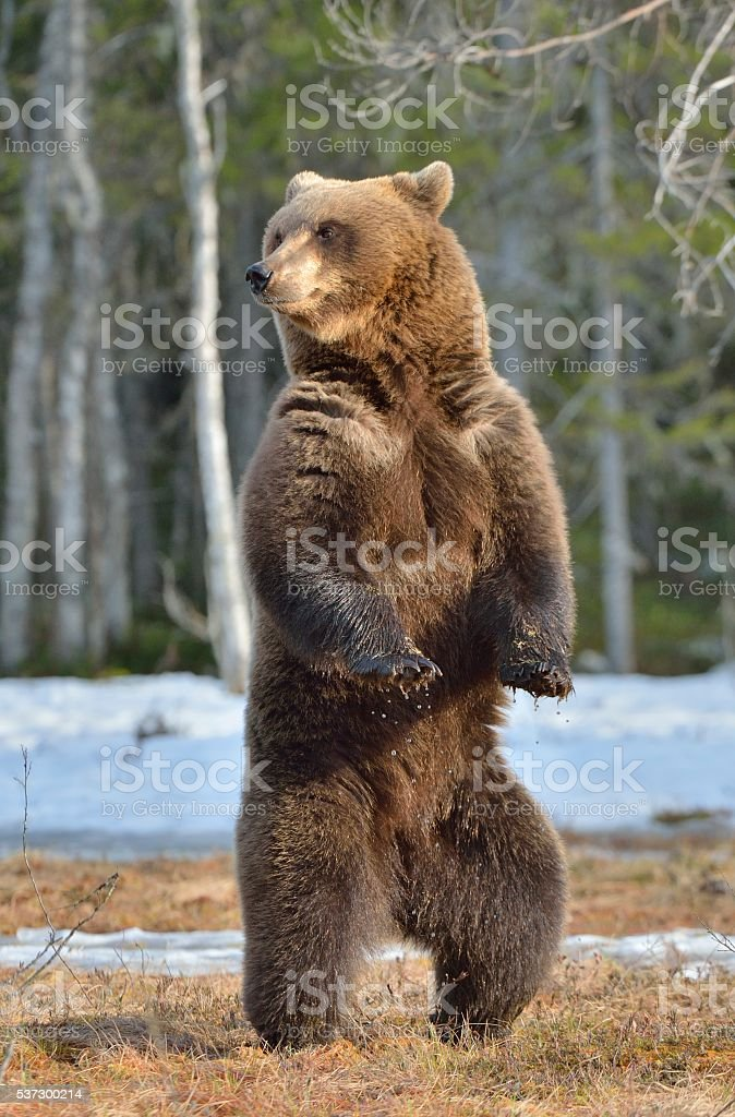 Brown bear standing on his hind legs in spring forest. stock photo