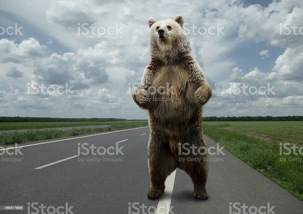 Brown bear standing on the road. stock photo