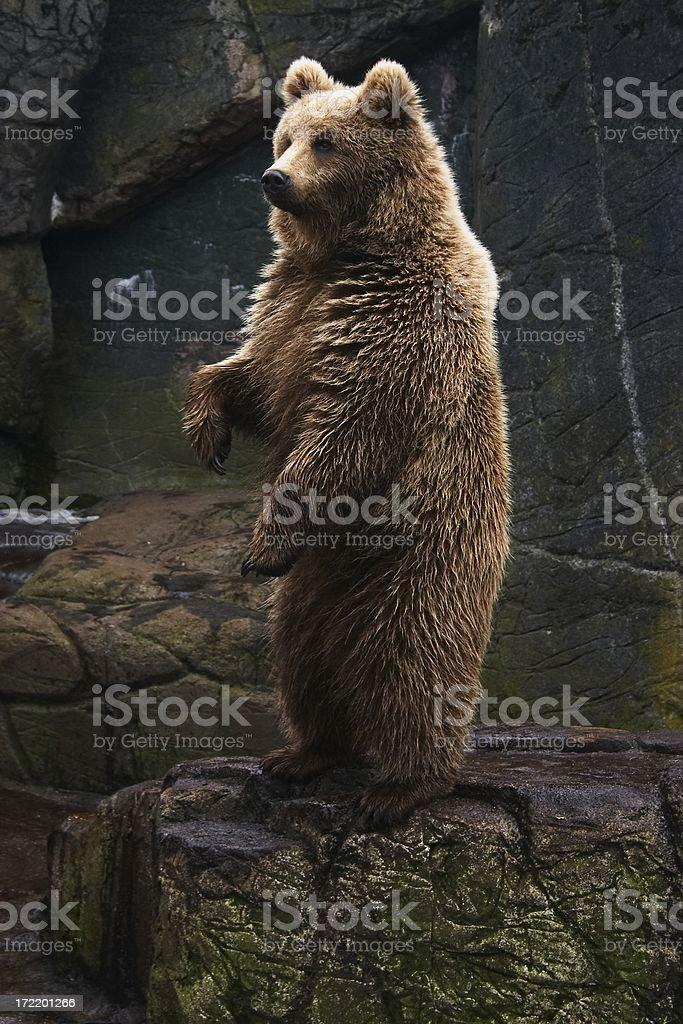 Brown bear standing stock photo