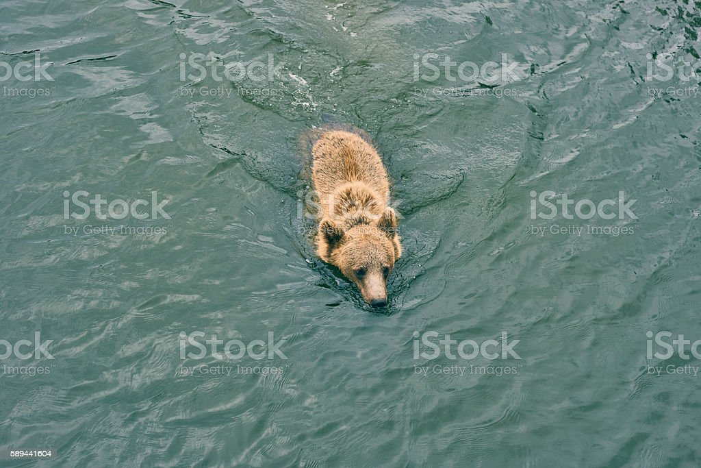 Brown bear swimming in rippled water stock photo