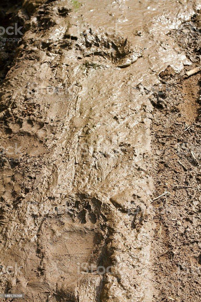 brown bear tracks in mud stock photo