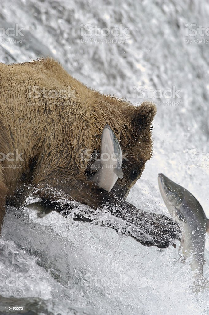 Brown bear trying to catch salmon royalty-free stock photo