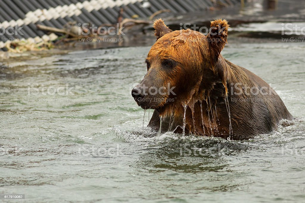 Brown bear waiting for prey in the Kurile Lake. stock photo