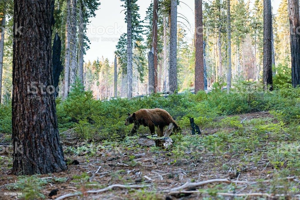 Brown bear walk in Sequoia National Park, California, USA stock photo