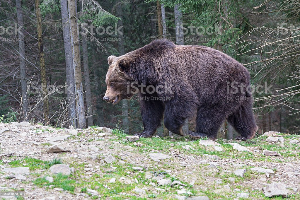 Brown bear walking along the forest. Animals stock photo