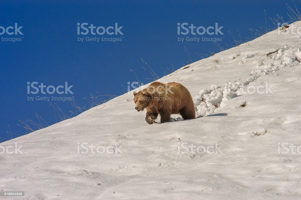 Brown Bear Walking in Snow Against Blue Background stock photo