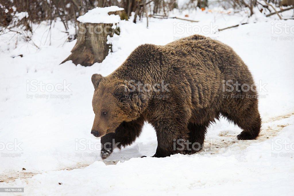 Brown bear walking in snow on winter stock photo