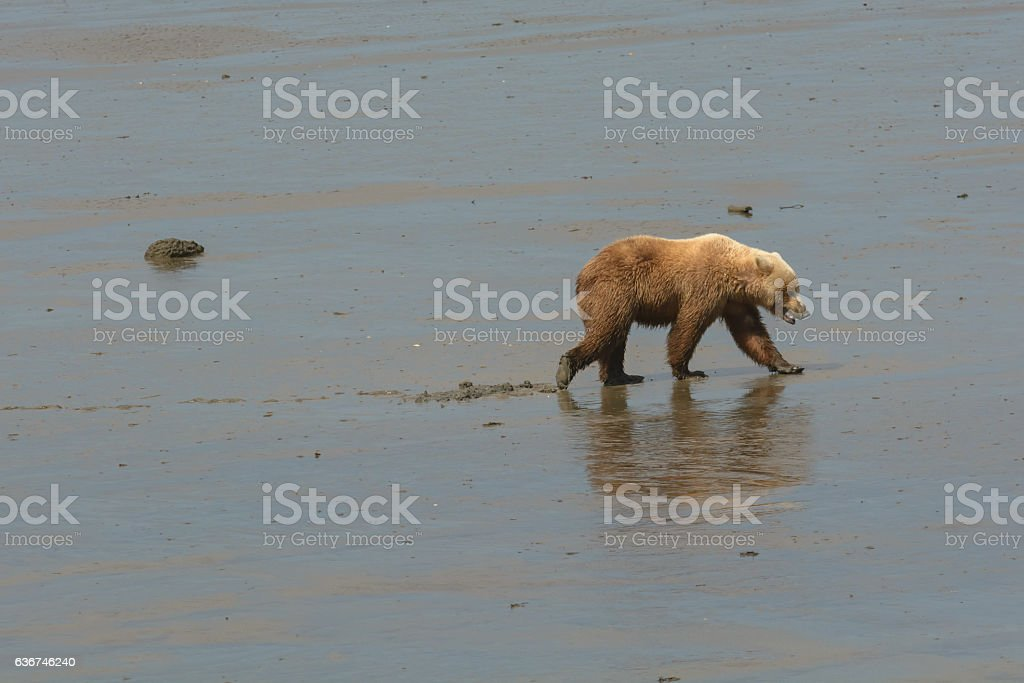 Brown Bear Walking on Tidal Flats stock photo