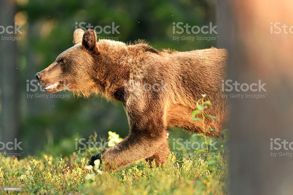Brown bear walking out from behind a tree stock photo